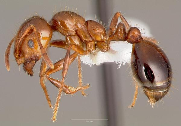 Fire Ant Queen Size