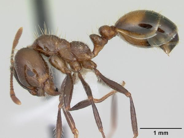 Solenopsis richteri (Photo: David Oi,  AntWeb, hosted by California Academy of Sciences)