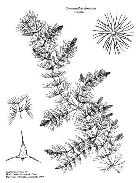 Ceratophyllum demersum (Illustration: University of Florida, Center for Aquatic and Invasive Plants - used with permission)