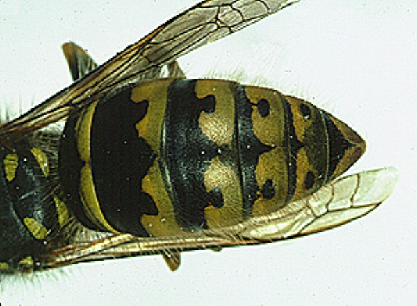 Vespula vulgaris - adult female queen, showing markings on abdomen (Photo: Barry Donovan, Donovan Scientific Insect Research)