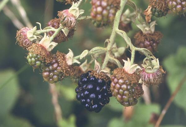 Rubus discolor fruits (Photo � Markku Savela)