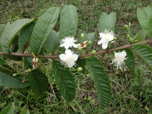 Guava flowers and leaves (Photo: Scott Henderson)