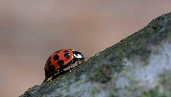 Adult of the Multicoloured Asian Ladybird (Photo: Jeroen Mentens)
