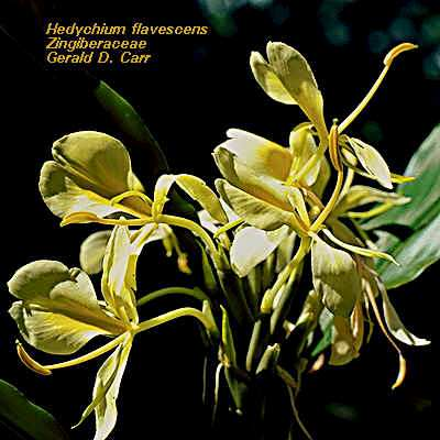 Hedychium flavescens (Photo: Gerald Carr)