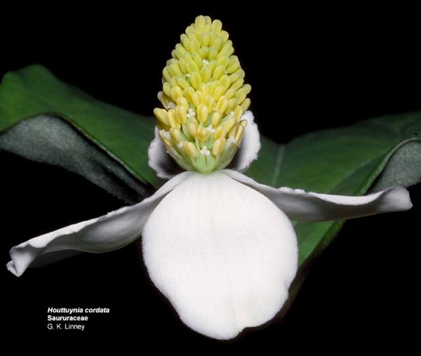 Houttuynia cordata (Photo: GK Linney, University of Hawai i)