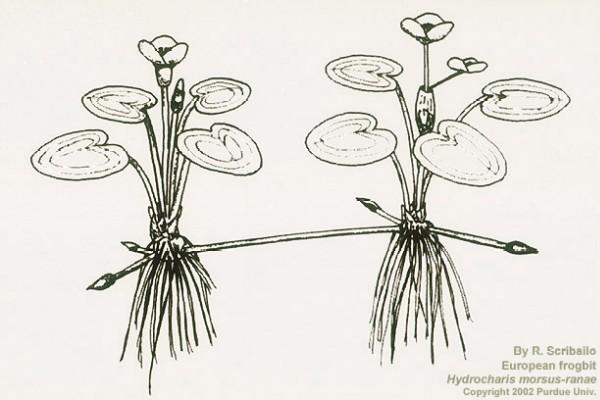 Hydrocharis morsus-ranae (Image: Dr. Robin W. Scribailo, Purdue University North Central)
