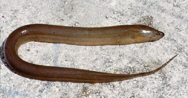 Monopterus�albus (Photo: Leo G. Nico, USGS, Gainesville, FL)