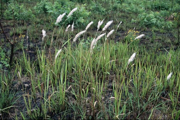 the feasibility of cogon grass imperata Production of alkaline protease by a thermophilic bacillus subtilis under solid-state fermentation (ssf) condition using imperata cylindrica grass and potato peel as low-cost medium.