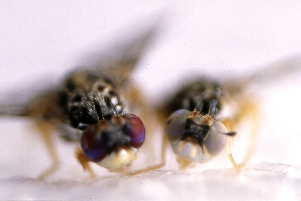 Bisexual fruit fly — 11