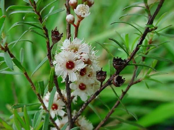Kunzea ericoides (Photo: Tony Foster)