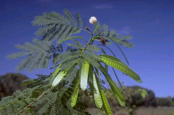Leaves, flowers and seed pods of Leucaena leucocephala at Darwin, Northern Territory, Australia (Photo: Colin Wilson)