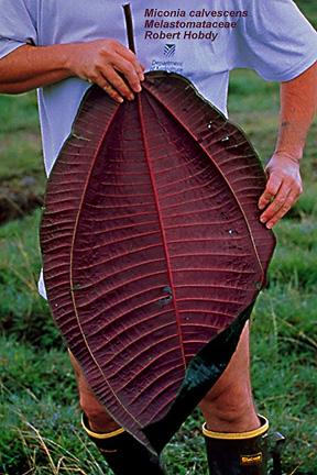 Large leaf of Miconia calvescens
