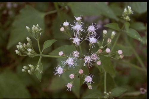 20 seeds Siam Weed Eupatorium odoratum Thailand herbs