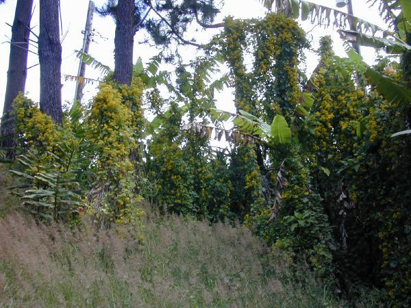 Habit of Delairea odorata (Photo: Forest & Kim Starr (USGS))