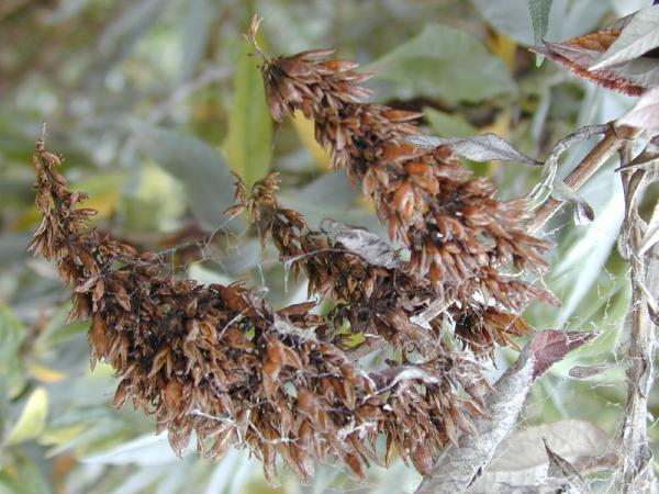 Buddleja davidii fruits (Photo: Forest & Kim Starr)