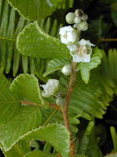 Rubus ellipticus flowers and leaves (Photo: Forest & Kim Starr (USGS))