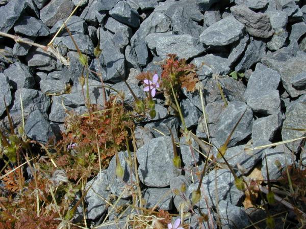 Erodium cicutarium (Photo: Forest & Kim Starr (USGS))
