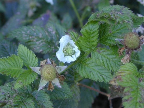 Rubus rosifolius flower and immature fruit (Photo: Forest & Kim Starr (USGS))