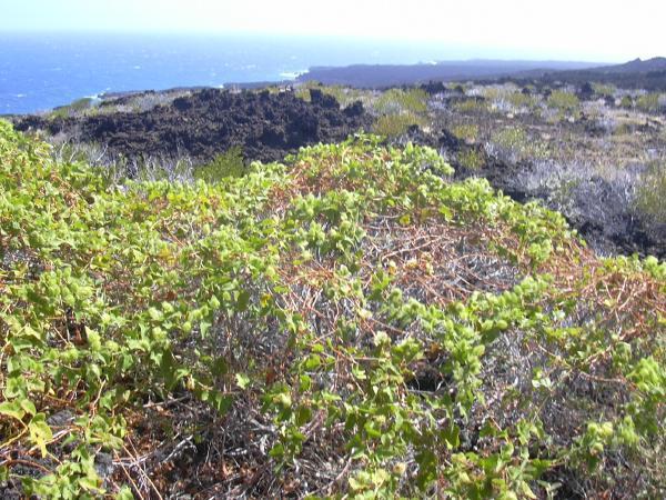 Habit of Passiflora foetida (Photo: Forest & Kim Starr (USGS))