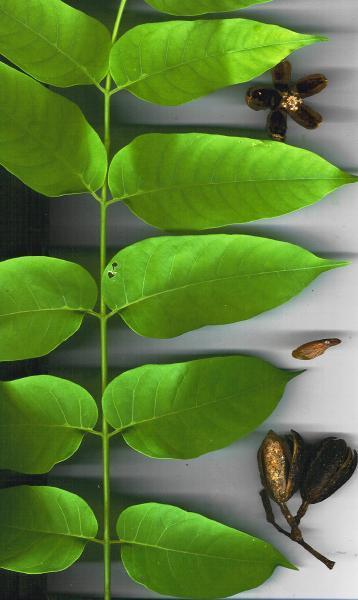 Cedrela odorata (Photo: Forest & Kim Starr (USGS))