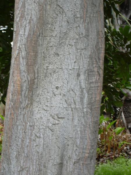 Bark of Cupaniopsis anacardioides (Photo: Forest & Kim Starr (USGS))