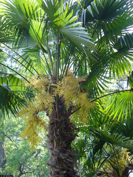Trachycarpus fortunei (Photo: USDA-NRCS PLANTS Database)