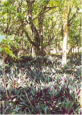 Tradescantia spathacea invading forest understory on Mau`ke, Cook Islands (Photo: Jim Space, www.hear.org/pier)