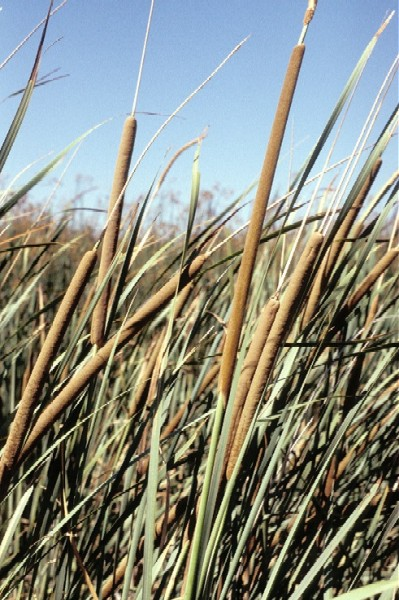 Typha latifolia (Photo: � Barry A Rice/The Nature Conservancy