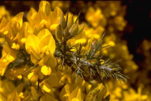 Flowers of Ulex europaeus on the Banks Peninsula, New Zealand (Photo: Colin Wilson)