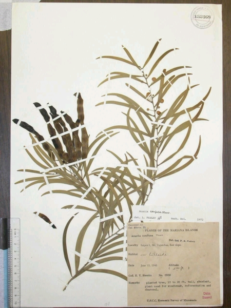 Herbarium voucher image from Bishop Museum (Acacia confusa); BISH #152468 Bishop Museum, Herbarium Pacificum