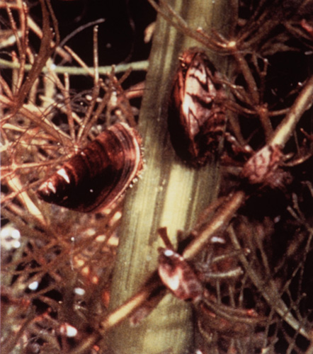 Zebra mussels attached to aquatic plants (Photo: C. Ramcharan)