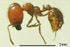 Solenopsis geminata worker lateral view (Photo: Japanese Ant Color Image Database)