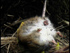 Dead Norway rat on Campbell Island (Photo: Peter and Judy Morrin Wildlife Photography)