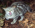 Felis catus on Chatham Island (Photo: Rex Williams, Chatham Island Taiko Trust)