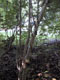 Japanese honeysuckle spiral trunk damage to the invasive plant Ligustrum vulgare (Photo: Martin Kohl)