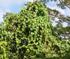 Merremia peltata smothering native vegetation (Photo: Dana Lee Ling)