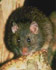 Rattus exulans (Photo: N.Z. Department of Conservation)